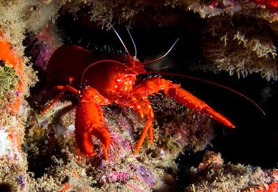 Red reef lobster (Enoplometopus occidentalis)