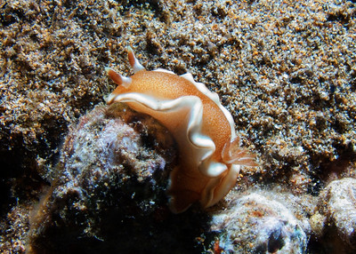 A handsome White-margin nudibranch (Glossodoris rufomarginata)