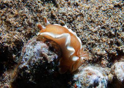 A handsome White-margin nudibranch (Glossodoris rufomarginata)