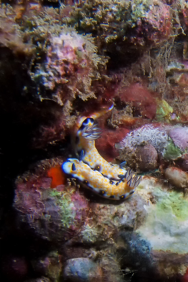 """""""Two Of A Kind""""<br /> (Imperial Nudibranchs - Risbecia imperialis)"""