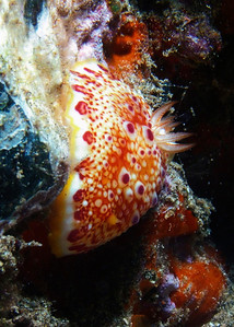 A pretty Red-spotted nudibranch (Chromodoris sp1-undescribed).