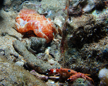 A fantastic (and very large!) Red-margin spanish dancer (Hexabranchus pulchellus)...the Hawaiian swimming crab (Charybdis hawaiensis) in the foreground--apparently ready for his closeup--will give you some scale.