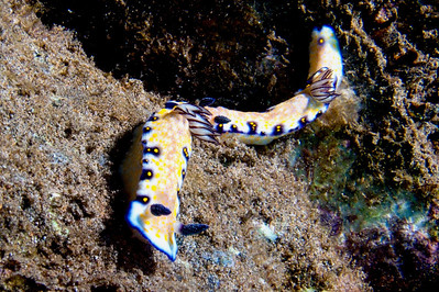 A pair of Imperial nudibranchs (Risbecia imperialis)