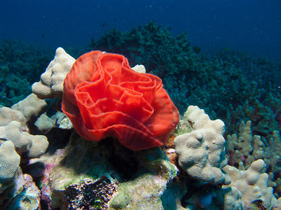 An underwater rose....the egg mass of a Redmargin spanish dancer (Hexabranchus pulchellus)