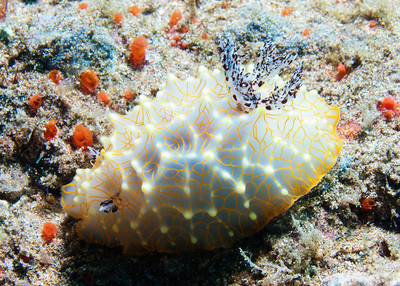Another Gold lace nudibranch (Haigerda terramtuentis), this one is feeling a little more bold--notice the gill tuft is fully extended.  However, the rhinophores at the front are tucked in a bit...just being cautious, I guess.
