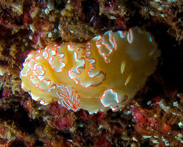 Undescribed Glossodoris, found on the underside of the St. Anthony. To my knowledge, I was the first person to see and photograph this unnamed species in Maui, although it had been seen in Oahu waters.