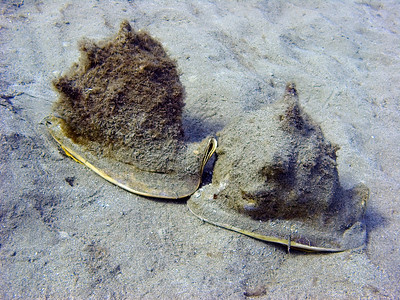 Two Horned Helmets (Cassis cornuta) I believe engaged in mating behavior.  These large, heavy-shelled animals are also known as Helmet conchs, although technically Cassidae are not true conchs.
