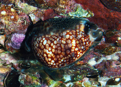 A Reticulated cowry (Mauritia maculifera) adhering to the roof of a cavern at Makena Landing, Maui. You can see the greyish papilate mantle extending around the lower edges of the shell.
