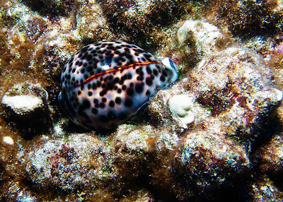 A very large Tiger cowry (Cypraea tigris) tucked into its shell for the day....