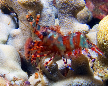 A beautifully colored female marbled shrimp (Saron marmoratus).  The male of the species has forelegs longer that its body, used to spar with other males during mating season. These shrimp also display amazing color variation (see green specimen, also in this gallery)