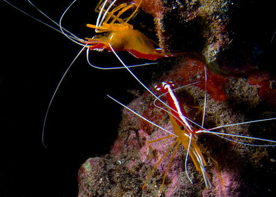 The beautiful Scarlet cleaner shrimp (Lysmata amboinensis)