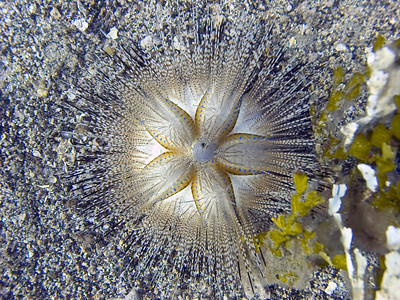 A blue-spot sea urchin (Astropyga radiata), showing how beautiful radial symmetry can be.