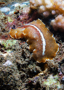 This is a White stripe flatworm (Pseudobiceros sp. 1), an undescribed Pseudocerotidae that is currently under study.
