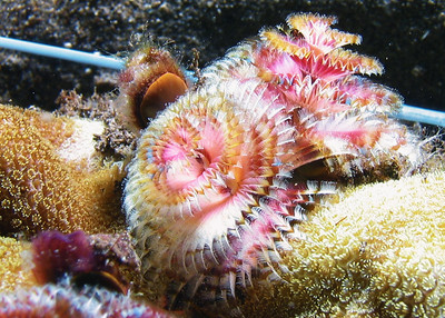 I know many divers that have passed these amazing creatures by on every single dive and don't even know it...the gills/feeding fans of a Christmas tree worm (Spirobranchus giganteus).  The rest of the worm extends deep into it's coral home, and those beautiful spiral fans can retract in an eyeblink.