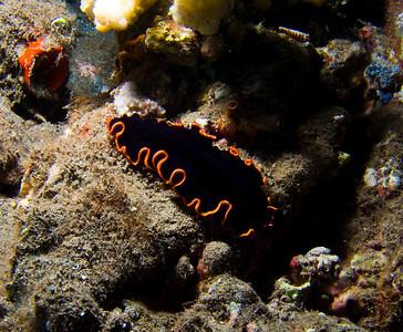 The striking Glorious flatworm (Pseudobiceros gloriosus)