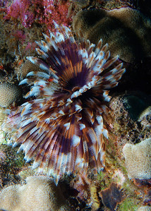 A fantastic Feather duster worm (Sabellastarte spectabilis) near the Helldiver cockpit.