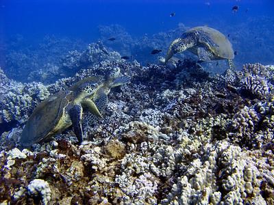 Green sea turtles (Chelonia mydas)