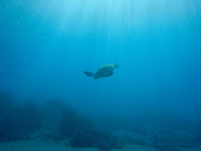 Green sea turtle (Chelonia mydas), study in blue...