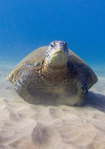Green sea turtle (Chelonia mydas), looking a bit dubious about the photographer...