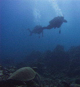 Green sea turtle (Chelonia mydas) with two curious non-marine creatures...