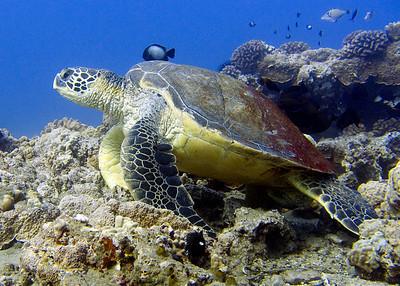 Green sea turtle (Chelonia mydas), and one of the largest I've ever encountered.  BIG girl.