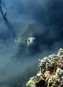 Green sea turtle (Chelonia mydas) digging in the silt...