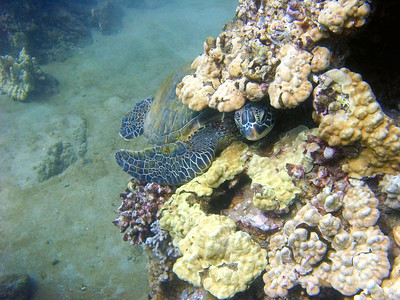 """Green sea turtle (Chelonia Mydas)...this one is rather young, and hasn't really figured out the """"hiding"""" skill yet..."""