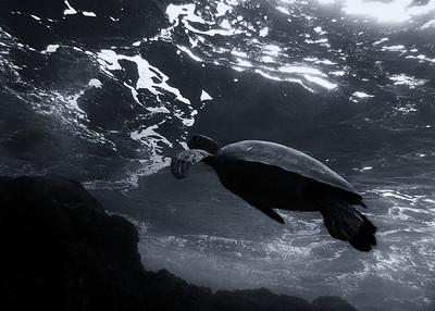 Green sea turtle (Chelonia mydas) b/w study