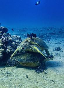 Green sea turtles (Chelonia mydas)--stack 'em up!