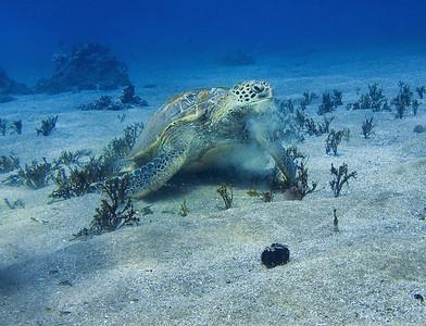 Green sea turtle (Chelonia mydas), having a Halimeda snack.