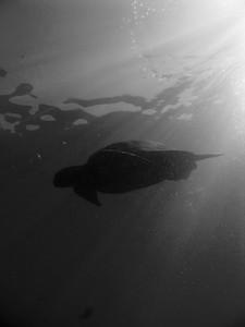 Green sea turtle (Chelonia mydas), b/w study