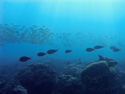 Green sea turtle (Chelonia mydas), part of a sunrise tableau...