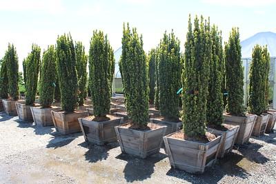 Taxus b  'Fastigiata Aurea' Specimen 7 ft #30 box