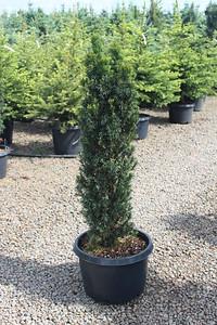 Taxus b  'Stricta' (Fastigiata) 3-4 ft