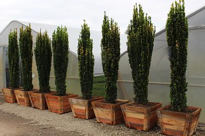 Taxus baccata 'Fastigiata Aurea' Specimen, 7 ft, #24 box