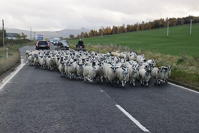 A73 sheepblock