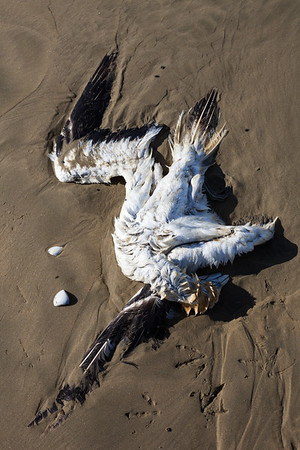 Dead sea bird on Ninety Mile Beach, Te Araroa Trail, Northland