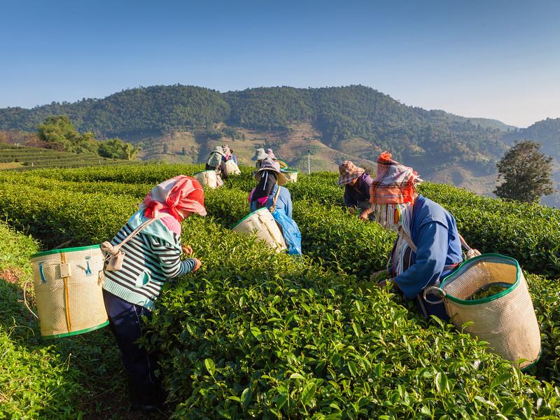 Tea plantations in Thailand.