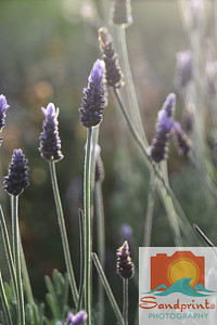 aperture lavender 001