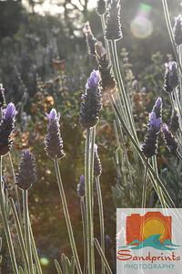 aperture lavender 002