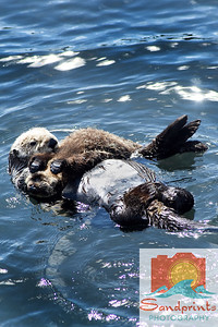 otter sandprints 016a