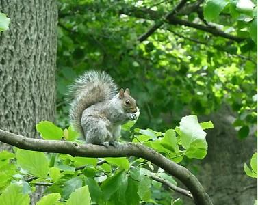 central park squirrel