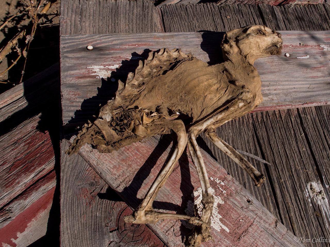Petrified Cat <br /> Team Rust ~ Douglas County