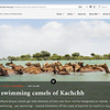 Photo-Story on swimming Camels of Kachchh I Sep 2018