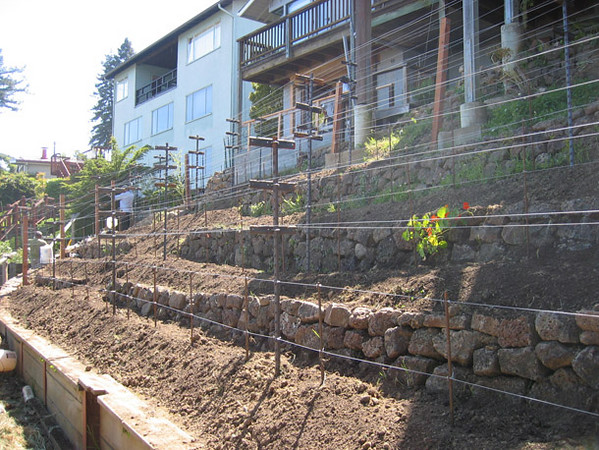New terraced walls, amended and bermed soil, and the grapevine trellises are in...