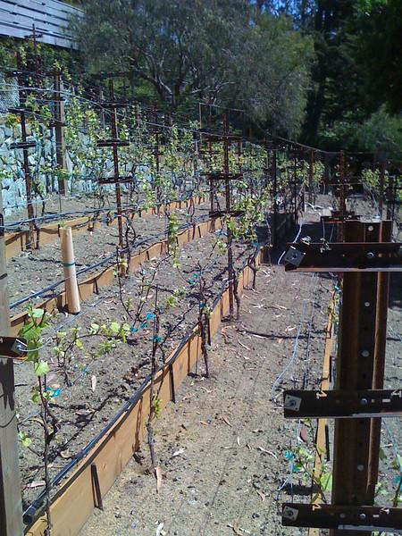 An existing vineyard's soil after through amendment.