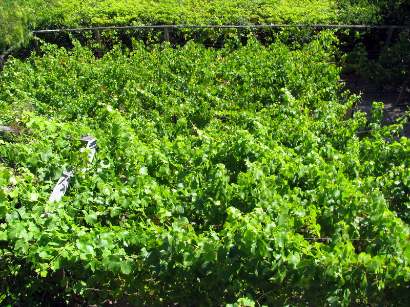 The vines thrive with healthy, living soil.