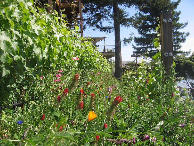A bit later in the season at another vineyard...other ornamentals join the lupines and clover, adding more beauty to the vineyard.  Variety in species of plants broadens the habitat for beneficial insects to keep insect pest populations low.