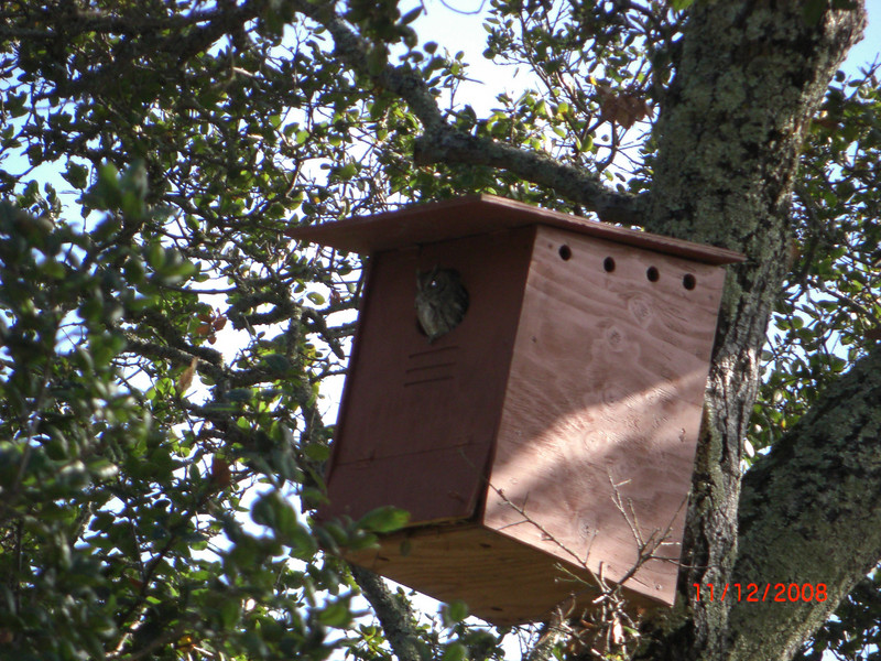 A smaller Screech Owl takes up residence in a Barn Owl box.  Both owl species eat rodents and insects.