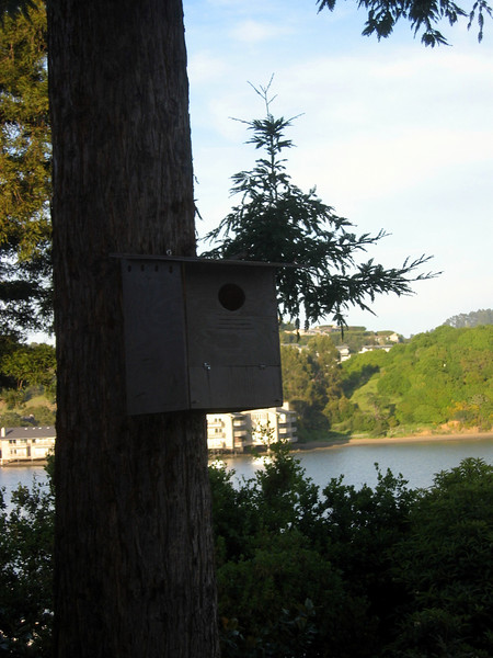 A new barn owl box up in a redwood tree.